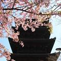 IMG_2858東寺(教王護国寺)・河津桜と五重塔(国宝)