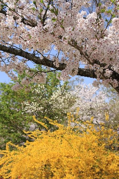 IMG_3955京都府立植物園・ソメイヨシノと連翹