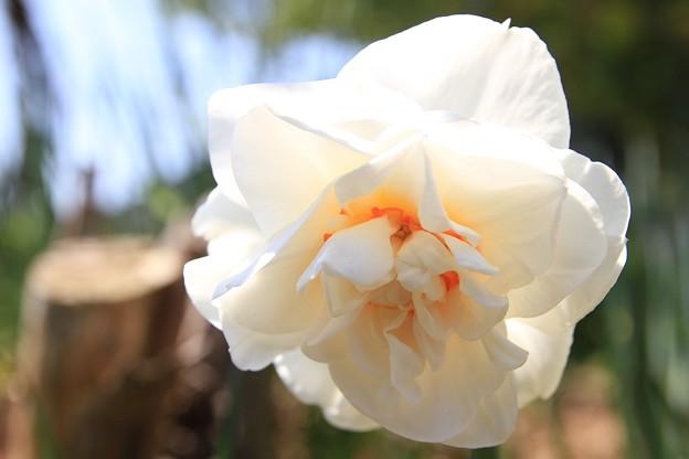 IMG_4647高照寺・八重咲き水仙