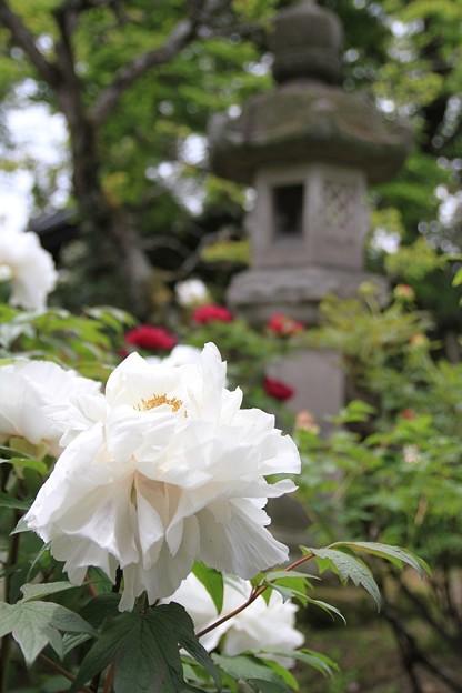 IMG_5915中庭・牡丹と灯篭