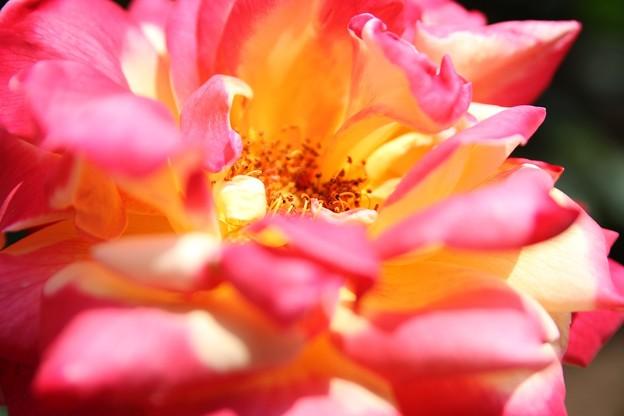 IMG_8244ばら園・薔薇'栄光'
