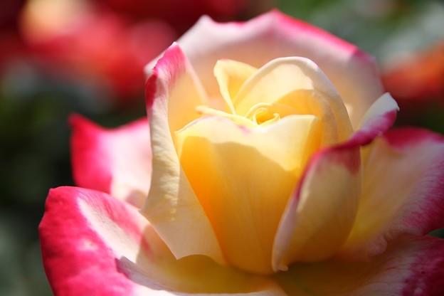 IMG_8253ばら園・薔薇'栄光'
