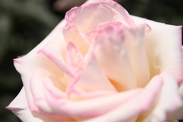 IMG_8596ばら園・薔薇'魅惑'