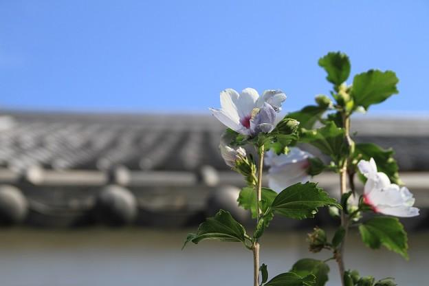 IMG_2832真正極楽寺(真如堂)・木槿