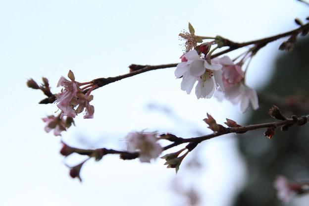 IMG_4824平野神社・寒桜