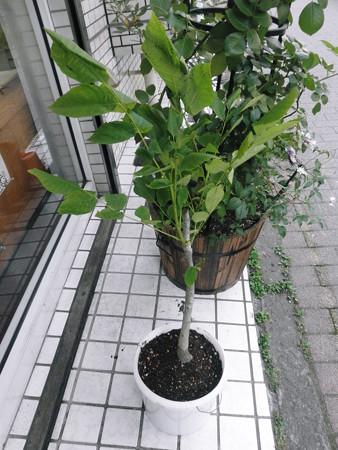 胡桃の木2013年06月05日_P6050567