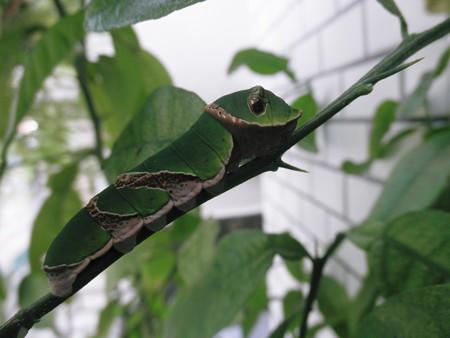 2013年08月08日クロアゲハの終齢幼虫