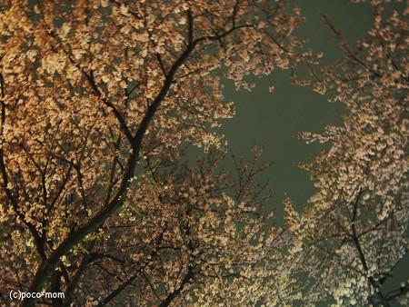 信号待ちで桜を撮る2014年04月05日_P4050051