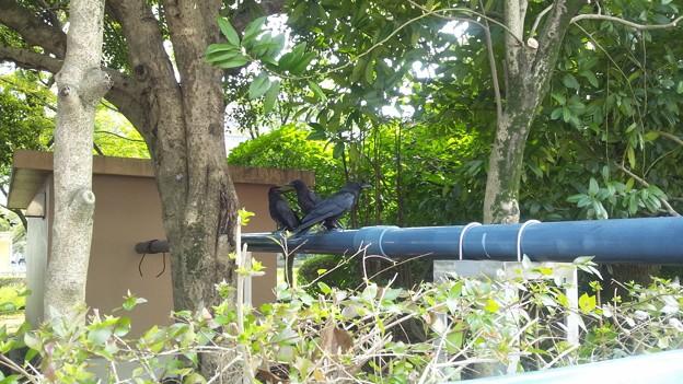 暑さでカラスも羽を休める
