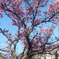 写真: 2月3日のカンヒザクラ2