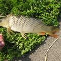 Photos: 鯉釣り