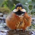 (1)ヤマガラの水浴び