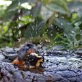 (2)ヤマガラの水浴び