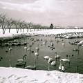 写真: 瓢湖の白鳥