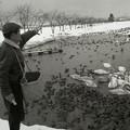 写真: 白鳥おじさん、初代 故吉川重三郎さん 瓢湖で