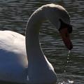 Photos: 白鳥