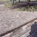 写真: 桜の絨毯