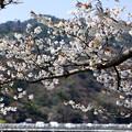 Photos: 渡月橋と桜