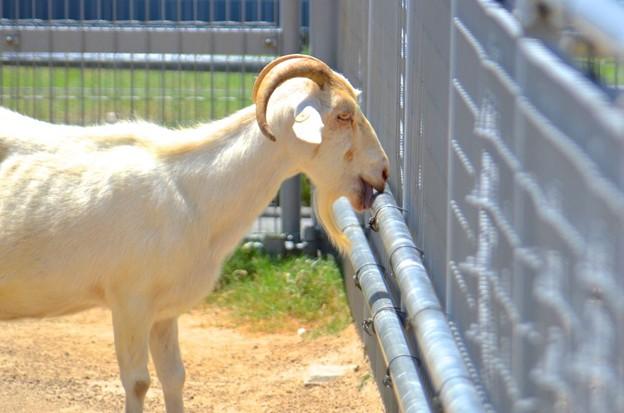 俺、本当に鉄の味が好きなんだ@天王寺動物園の山羊1
