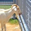 Photos: 俺、本当に鉄の味が好きなんだ@天王寺動物園の山羊1