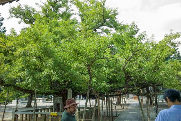 岡山県の誕生寺の境内にある変わった生え方をしている公孫樹
