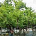 Photos: 岡山県の誕生寺の境内にある変わった生え方をしている公孫樹