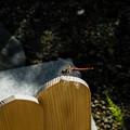 Photos: 卒塔婆に留まる蜻蛉2