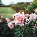 新宿御苑のピンクの薔薇
