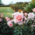 Photos: 新宿御苑のピンクの薔薇