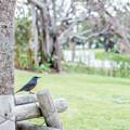 Photos: 海洋博公園のイソヒヨドリ