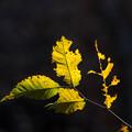 写真: 黒背景の葉っぱ