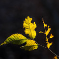 黒背景の葉っぱ