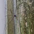 Photos: 脚が八本あるからといって蜘蛛とは限らないことを初めて知りました