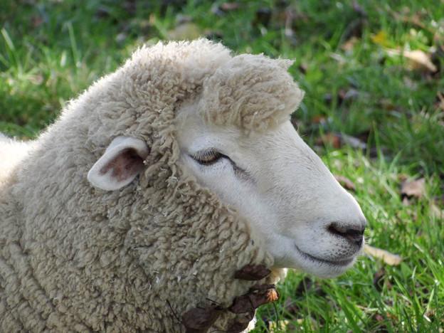 Photos: リーゼント羊