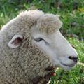 リーゼント羊