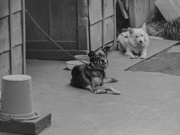 Photos: 昭和の番犬