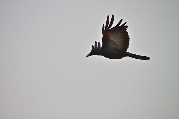 透き通るカラスの飛翔