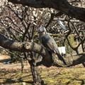 Photos: 梅が咲きましたぜ