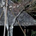 白梅と萱葺き屋根