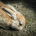 抱っこしたいけど駄目なんです@広島県大久野島の兎たち