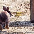 写真: ぴょーんとく~りゃ~、ごろにゃんと鳴かない@広島県大久野島の兎たち