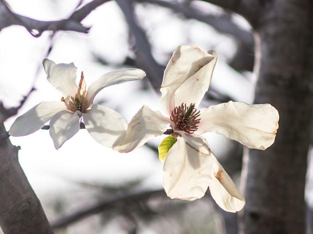 Photos: 透過光で枝のシルエットが見えてるのがおもしろい