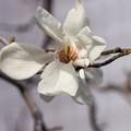 Photos: 白い辛夷の中の乾燥リンゴ見たいな雄蘂とエイリアンみたいな雌蘂