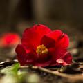椿の花は落ちてもまだ美しい