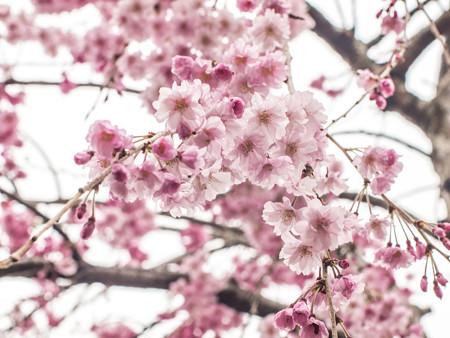 しだれ桜を下から撮る試み(爆)