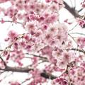 Photos: しだれ桜を下から撮る試み(爆)
