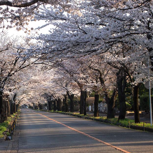 永遠に続いている様な桜のトンネル