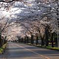 Photos: 永遠に続いている様な桜のトンネル