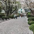 横浜の桜は散り始めています