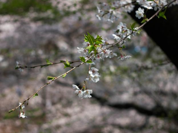 Photos: 花より葉っぱの方がSpringしてる(爆)